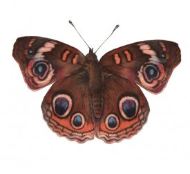 Butterfly illustrated in watercolour and pencil