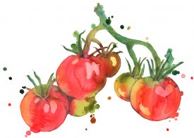 Tasty tomatoes illustrated in watercolour and pencil
